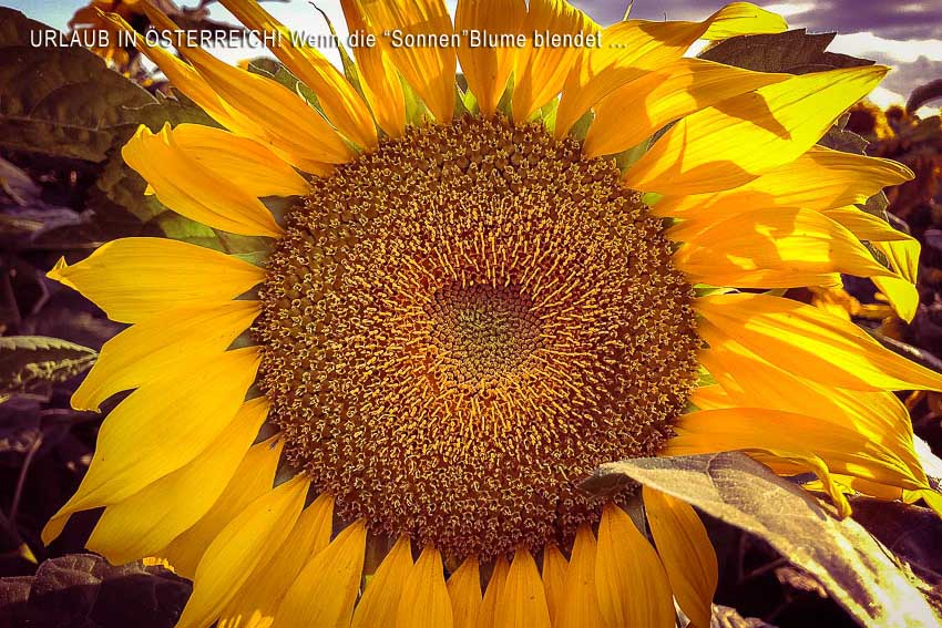 Urlaub_Österreich_Sonnenblume